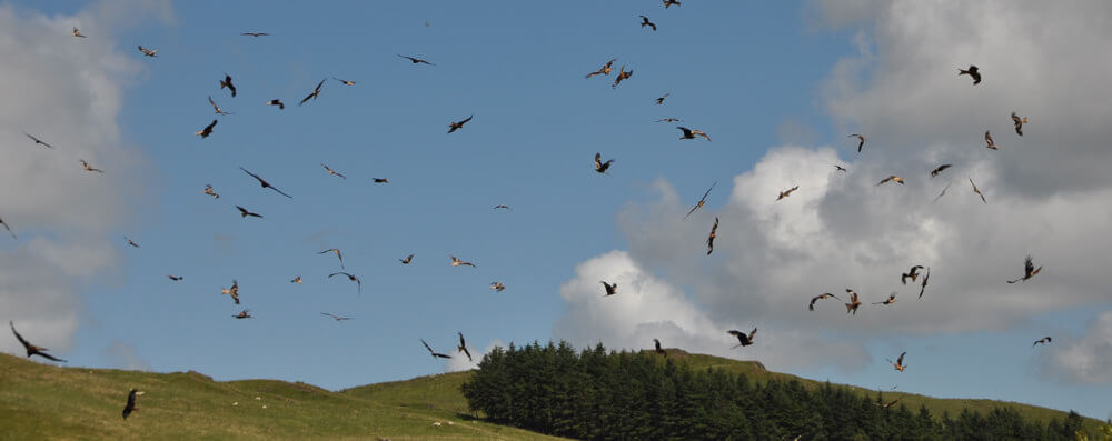 Bird Watching Breaks in Mid Wales. Red Kite feeding station.