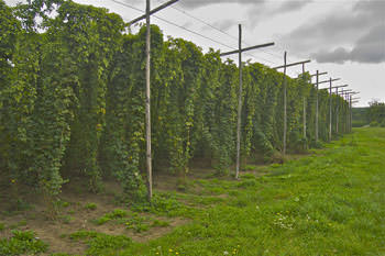 north downs hop field