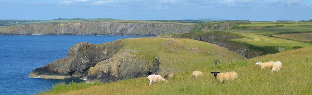 Sheep on the coast on our self catering Pembrokeshire holiday