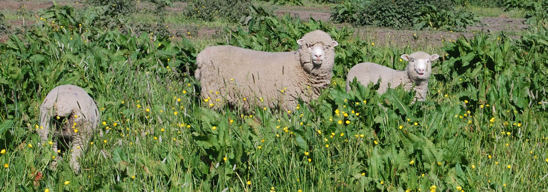 sheep-Isle-of-man