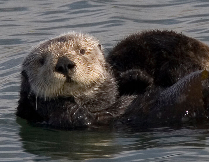 Sea otter commonly found near Laxdale Bunkhouse