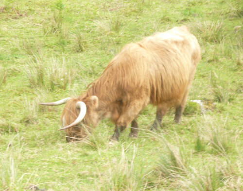 Cow on the Rob Roy Way