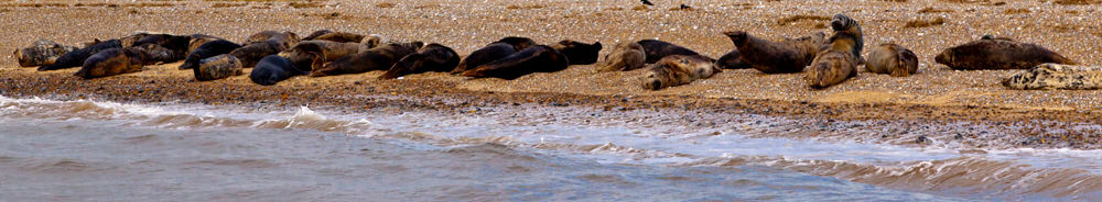 Seals on the North Norfolk Coast