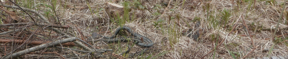 Snake at Cors Caron nature reserve near Tregaron