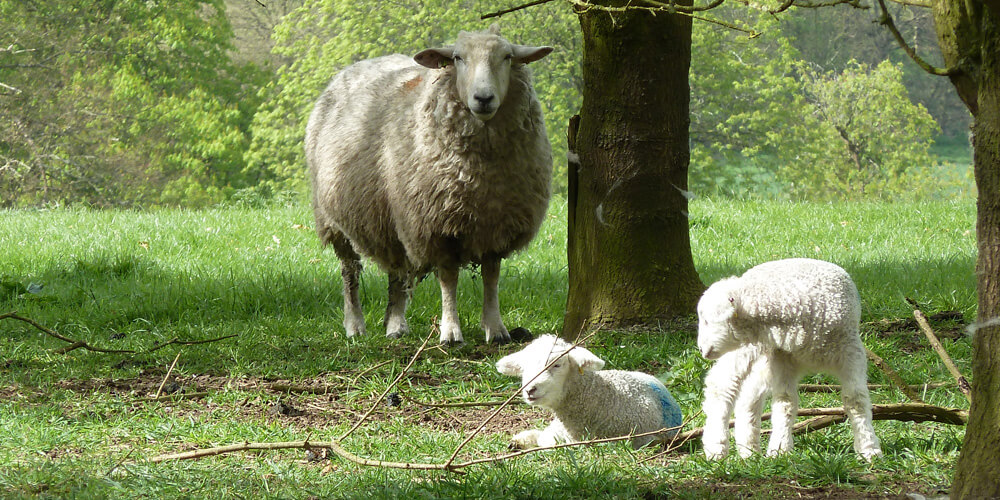 Sheep farming in the uk