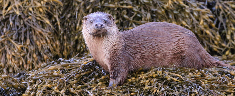 Otters on the hebrides
