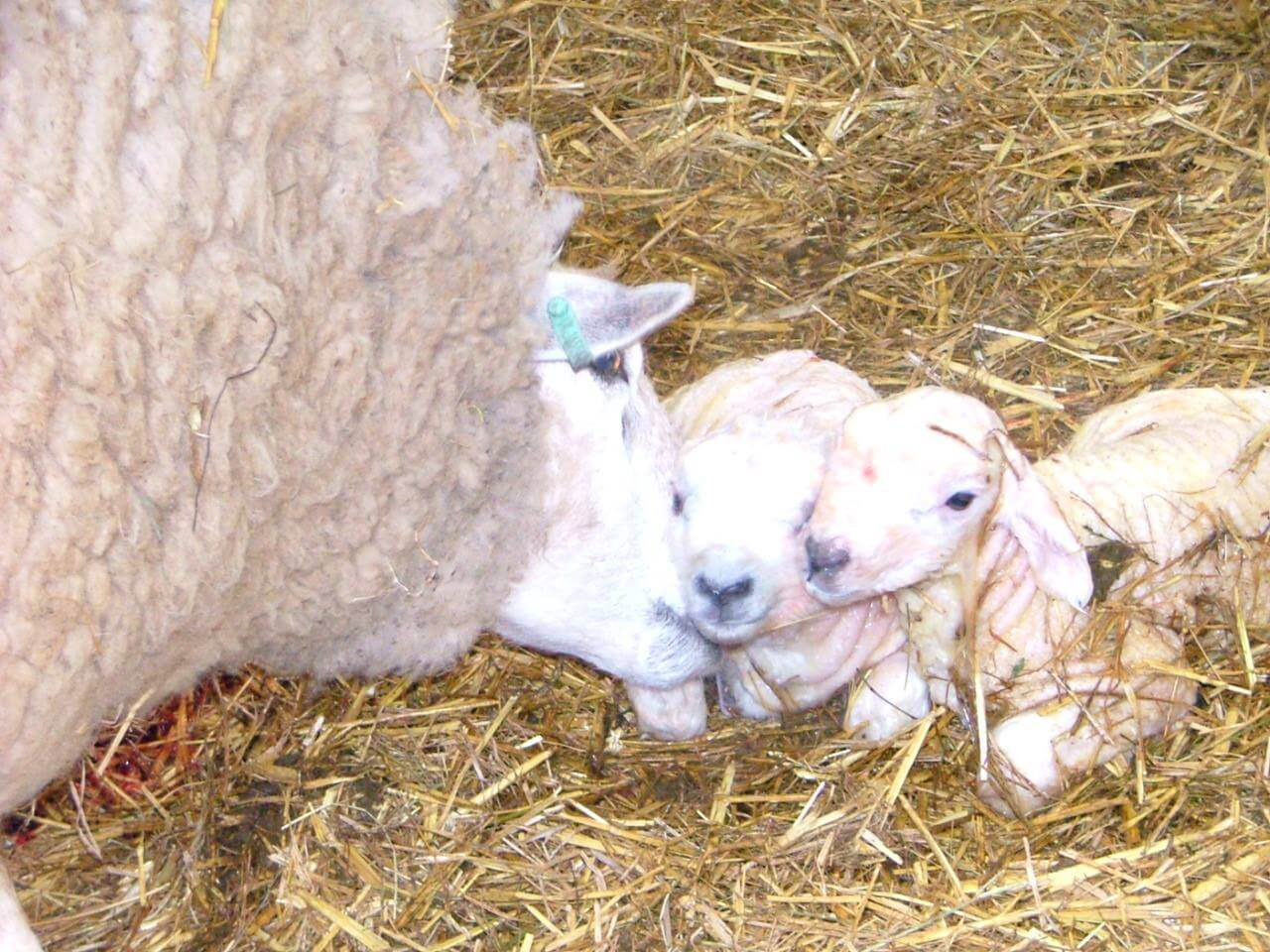 lambing at gateham grange home of alstonefield camping barn