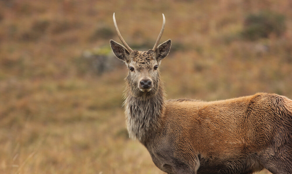 Deer, Isle of Mull Wildlife