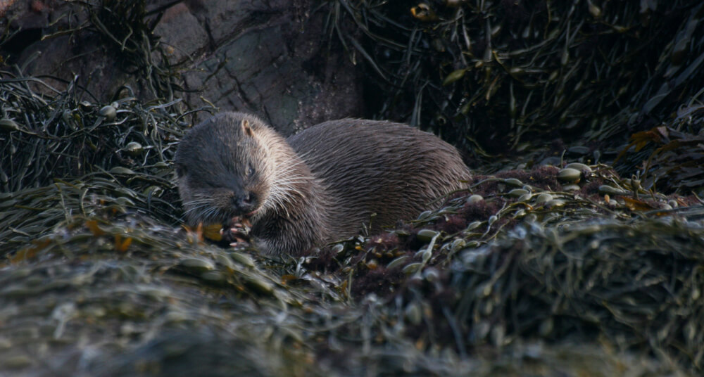 An Otter on the isle of Mull