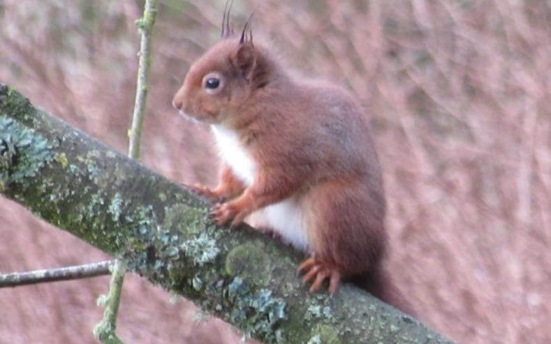red squirrel at demesne farm