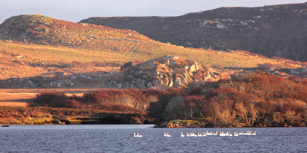Whooper Swans by Ross of Mull Bunkhouse