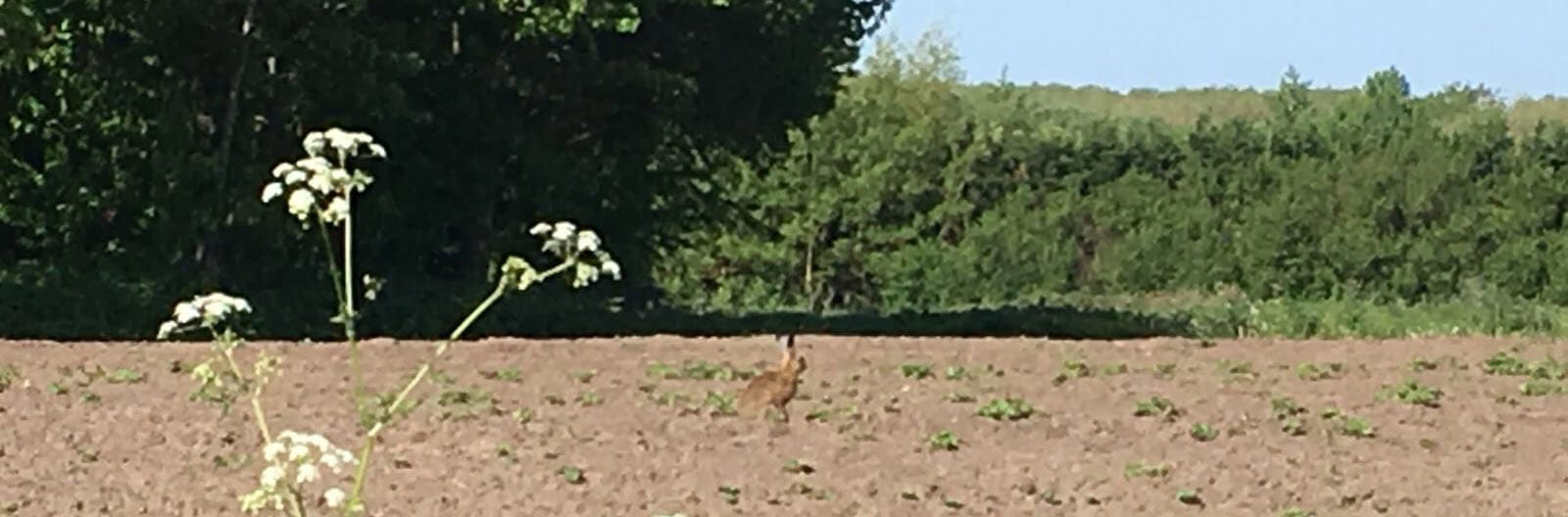 A Hare in the Lincolnshire Wolds