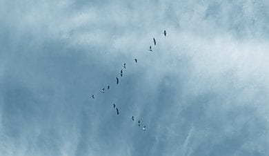 geese over norfolk
