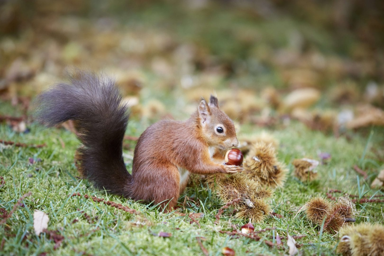 Red squirrel on Brownsea Island, Poole Harbour, Dorset.
