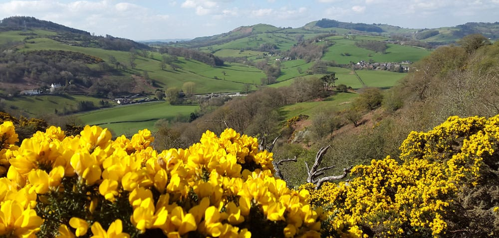 Llanfyllin landscape with gorse in flower