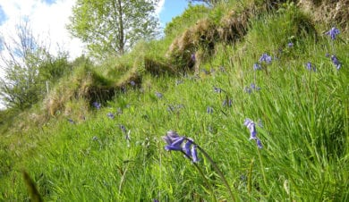 bluebells in mid wales on the spring bank holiday
