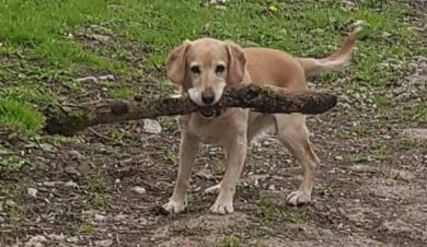 Dog walking with stick