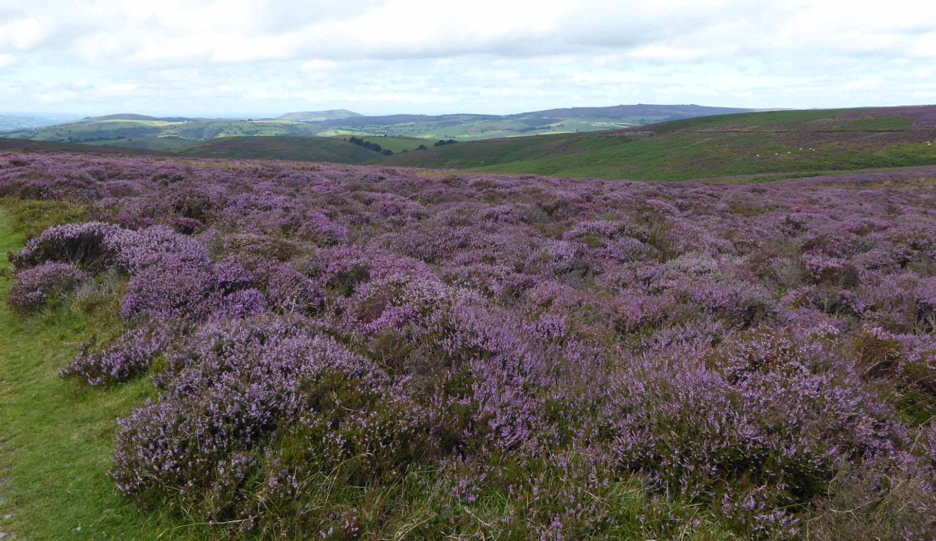 Heather on the long mynd near All Stretton