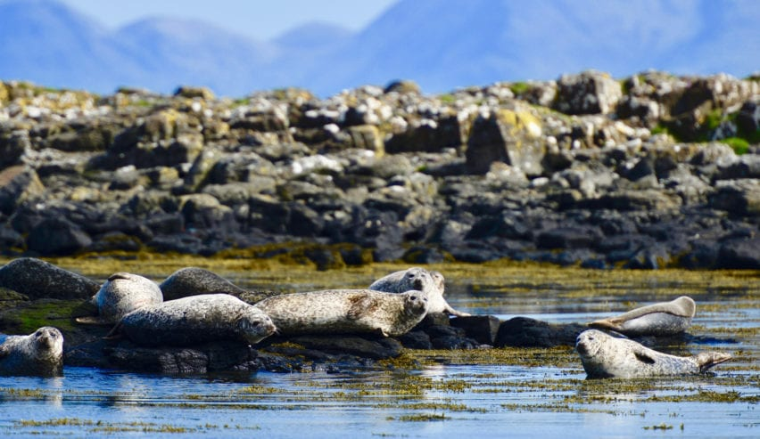 seal colony on Isle of Muck