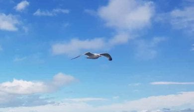 flying seagul