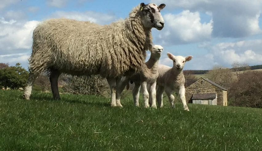 sheep by edale barn
