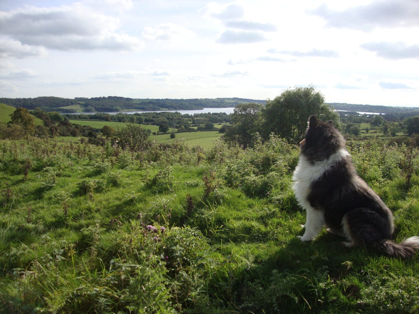 Dog surveying the land