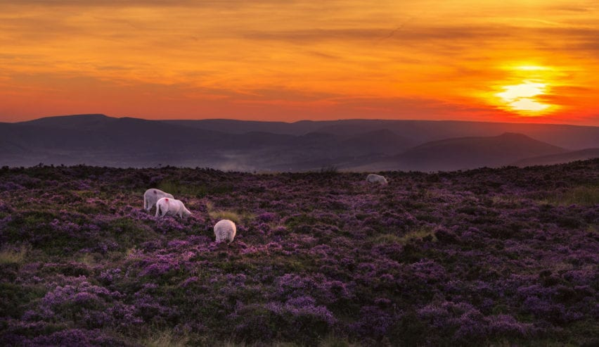 sheep and moreland in the peak district