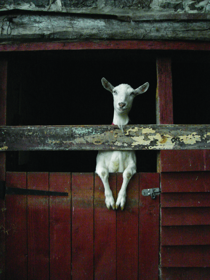 Goat in barn