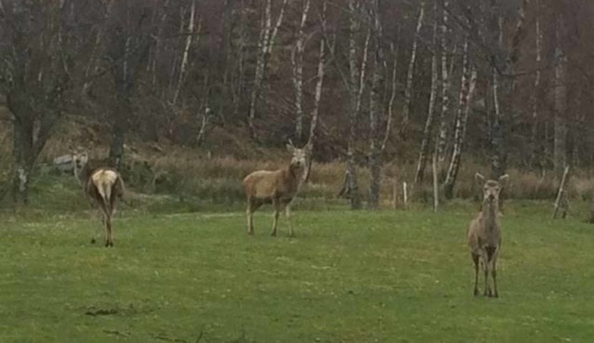 red deer at Ledgowan Lodge Hotel & Bunkhouse Ross-shire