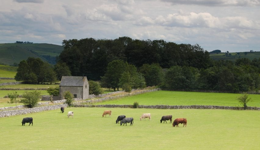 cows and landscape around alstonefield camping barn