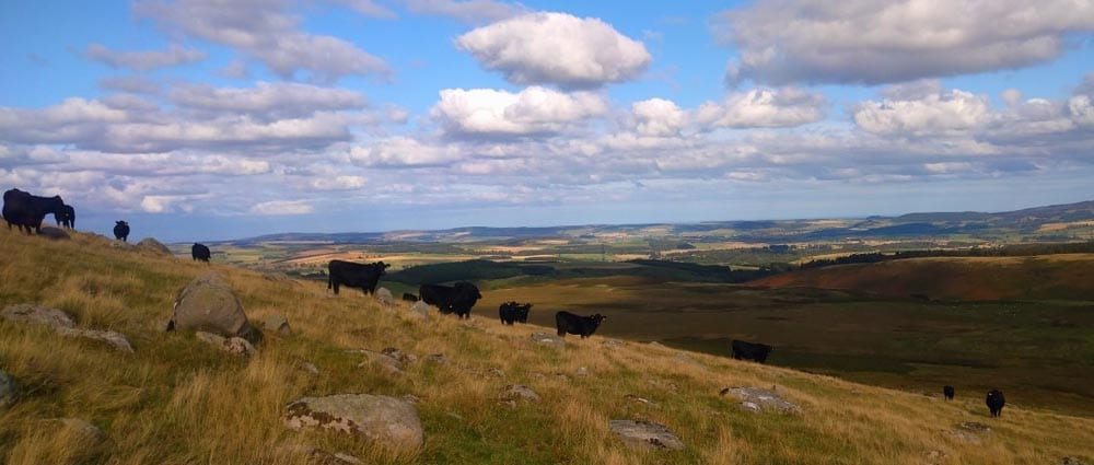 cows on northumberland hill farm