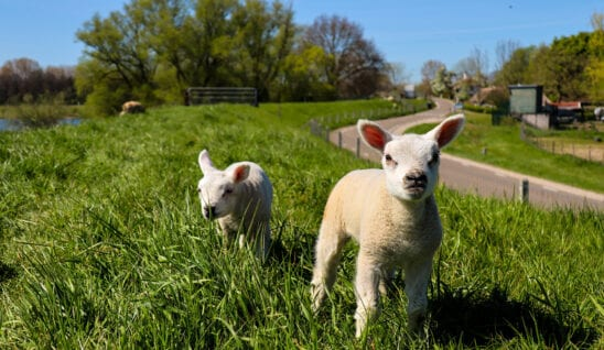 Easter lambs in Wales